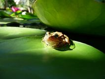 青蛙睡莲叶 库存图片