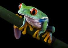 青蛙红色 免版税图库摄影