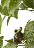 青蛙红色 免版税库存图片