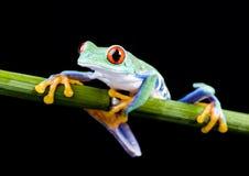 青蛙红色 库存图片