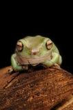 青蛙结构树白色 免版税图库摄影