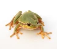 青蛙结构树 免版税图库摄影