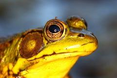 青蛙绿色伊利诺伊 免版税库存照片