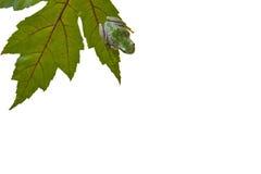 青蛙绿色叶子结构树 免版税库存照片