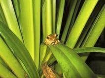 青蛙绿色微小 免版税图库摄影