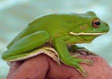 青蛙绿色结构树 免版税库存照片