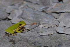 青蛙绿色结构树 库存图片
