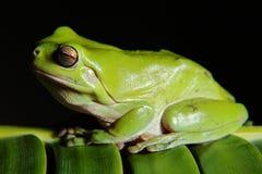 青蛙绿色结构树 免版税库存图片