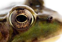青蛙绿色 免版税图库摄影