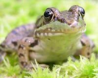 青蛙绿色 免版税库存图片