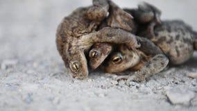 青蛙联接 在路的青蛙,棕色背景 股票录像