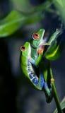 青蛙联接 免版税图库摄影