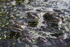 青蛙联接 库存图片