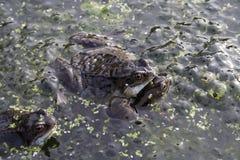 青蛙联接 免版税库存照片