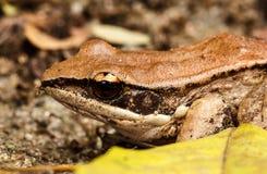青蛙自然山灰色(加利福尼亚灰色treefrog) 免版税库存照片