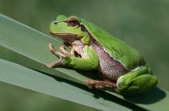青蛙芦苇 库存照片