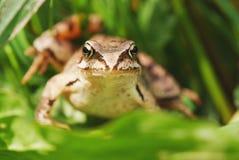 青蛙草 免版税库存照片