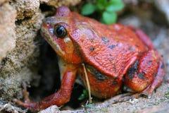 青蛙蕃茄 图库摄影