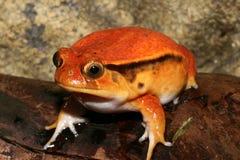 青蛙蕃茄 免版税库存图片