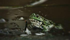 青蛙蚂蚁的狩猎 库存照片