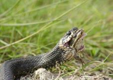 青蛙蛇吞下 免版税库存图片