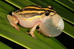 青蛙被绘的芦苇 免版税库存图片