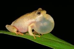 青蛙被绘的芦苇 库存图片