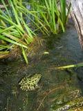 青蛙豹子北pipiens蛙属 免版税库存图片
