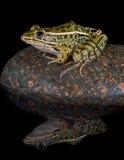 青蛙豹子反映 库存图片