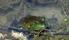 青蛙豹子 免版税库存照片
