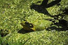 青蛙豹子 库存照片
