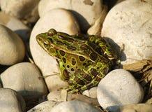 青蛙豹子 库存图片