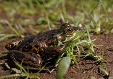 青蛙貂皮 库存图片