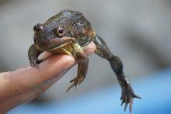 青蛙跳准备好 库存图片