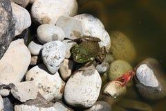 青蛙跳小的岩石 免版税库存照片