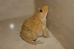 青蛙金黄的Whitey (是名字幸基) 免版税库存照片