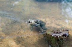 青蛙饲养 免版税库存照片