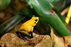 青蛙黄色 免版税图库摄影