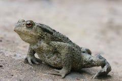 青蛙,准备跳 图库摄影