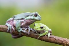 青蛙,动物,雨蛙,矮胖的青蛙, 免版税库存图片