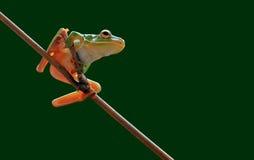 青蛙,矮胖的青蛙 被注视的青蛙红色 Litoria caerulea, 图库摄影