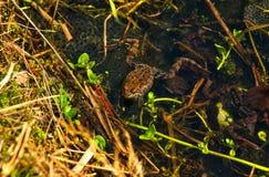 青蛙,水,草 免版税库存图片