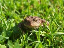 青蛙-在草的蟾蜍 免版税库存图片