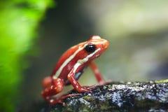 青蛙幻想毒物 免版税图库摄影