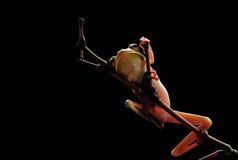 青蛙 矮胖,动物,阶段,自然, 免版税库存图片