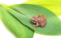 青蛙绿色叶子 免版税库存照片