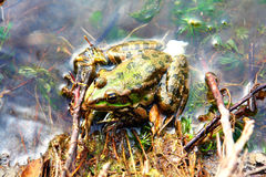 青蛙绿色浅坐的水 免版税库存照片
