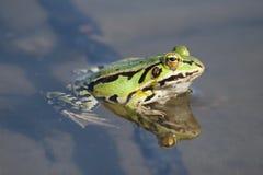青蛙绿色水 免版税库存图片