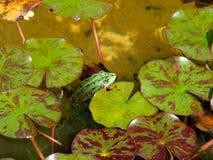 青蛙绿色水 免版税图库摄影