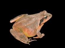 青蛙(蛙属dybowskii) 15 免版税图库摄影